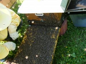 Schwarm beim Einzug in den Bienenstock